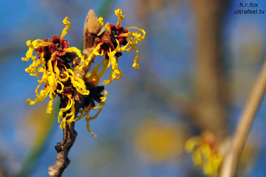 Witch-hazel (Hamamelis) photo: h.r.fox @ Ultrafeel